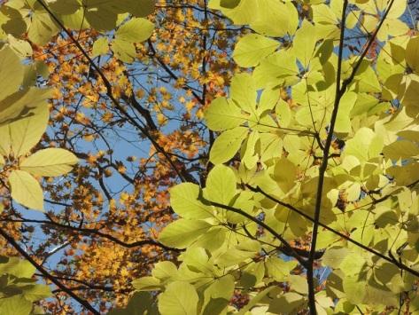 黄色の葉光る