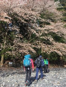桜がひらひら舞う二本松尾根コース登山口より入道ヶ岳に向う