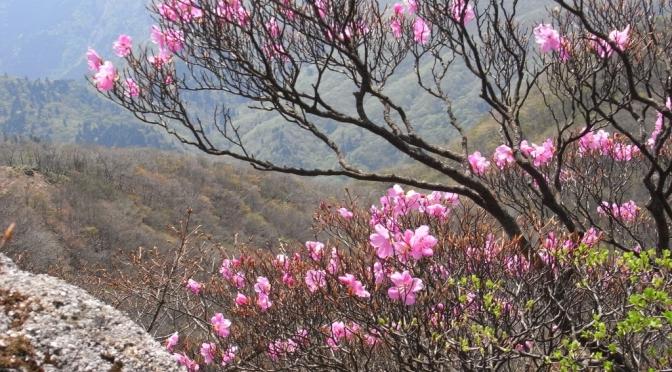 2009/05/09   御在所岳のアカヤシオ